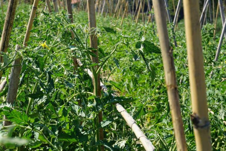 Italien Tomaten biologisch