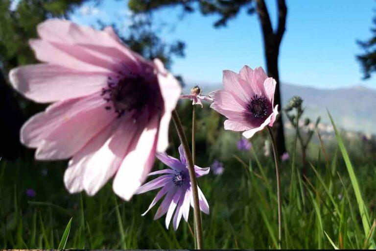 Blüte bei Sassolive Italien