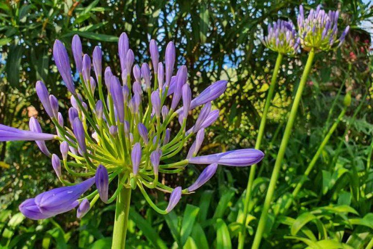 Organic Italy Flower