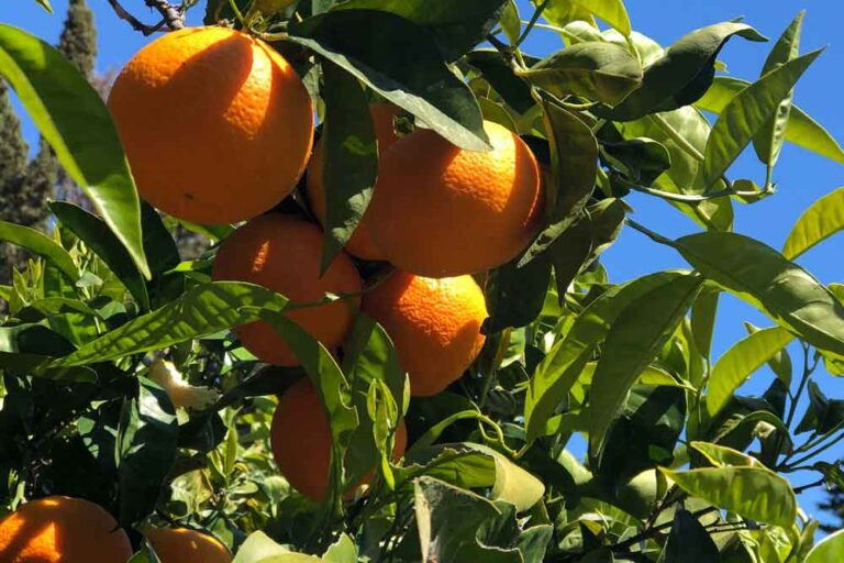 Sponsorship Olive Tree Organic Italy Oranges