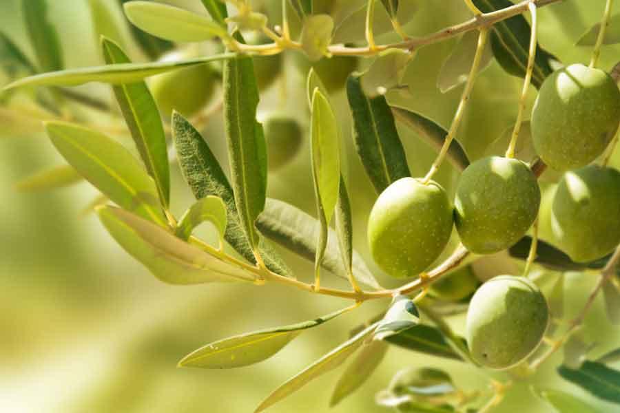 Bio Olivenbaum reife Früchte
