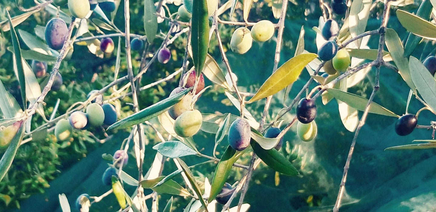 Pruning olive tree is an art
