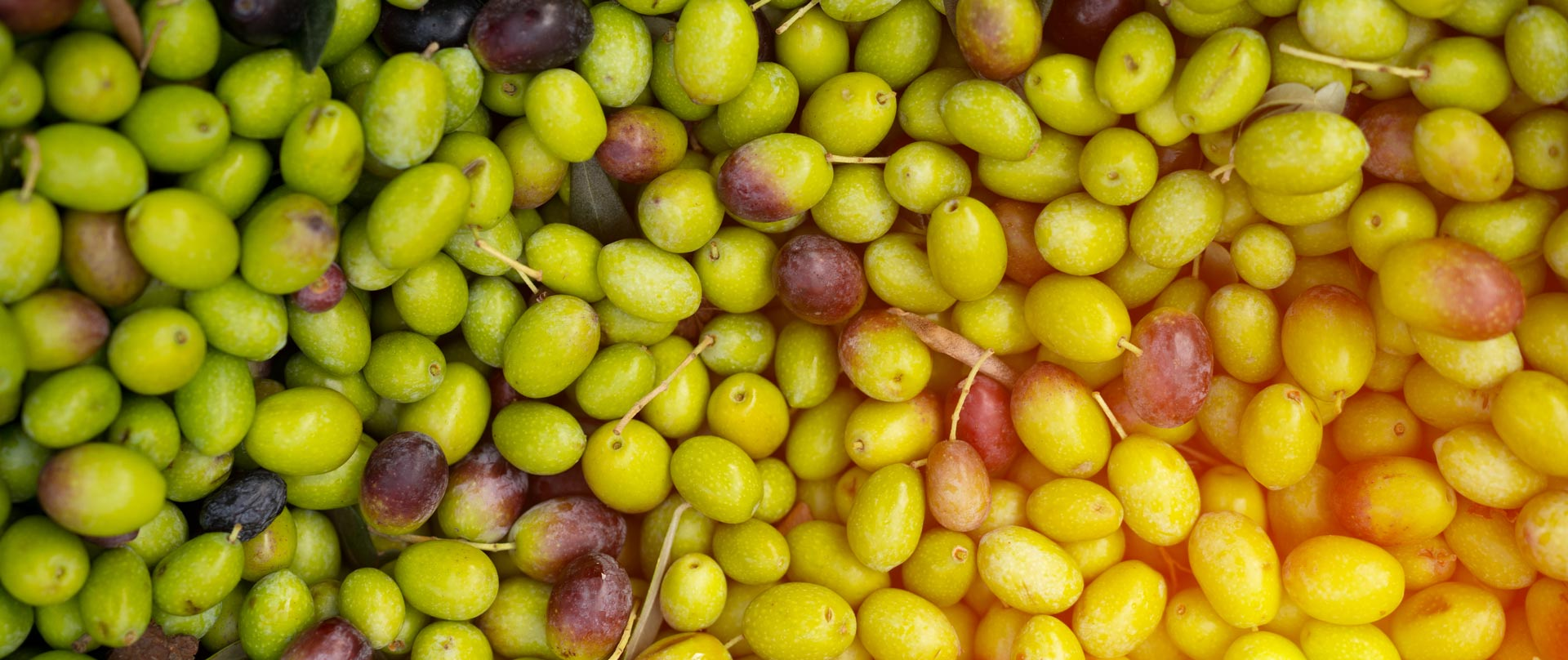 Olive harvest 2020 fresh Taggiasca