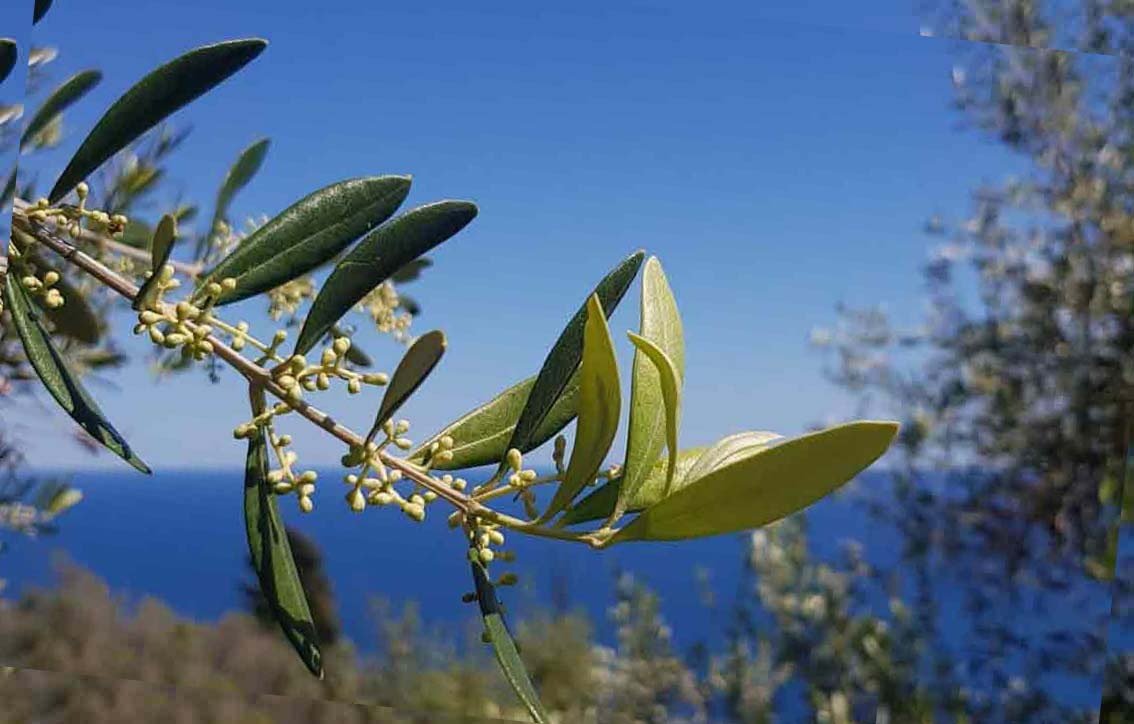A good olive year for organic farmers 2020