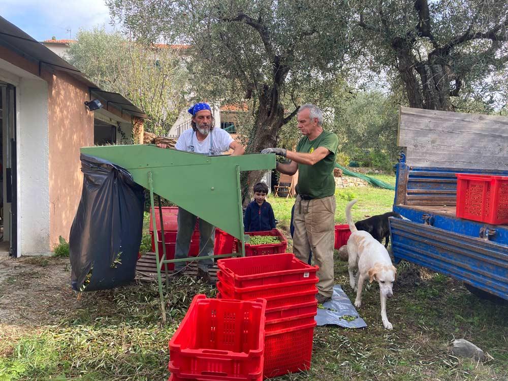 Raccolta olive biologiche 2020